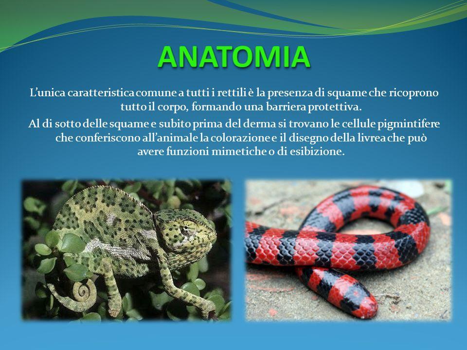 Lunica caratteristica comune a tutti i rettili è la presenza di squame che ricoprono tutto il corpo, formando una barriera protettiva. Al di sotto del