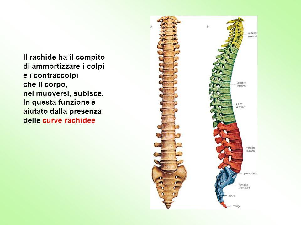 Il rachide ha il compito di ammortizzare i colpi e i contraccolpi che il corpo, nel muoversi, subisce. In questa funzione è aiutato dalla presenza del