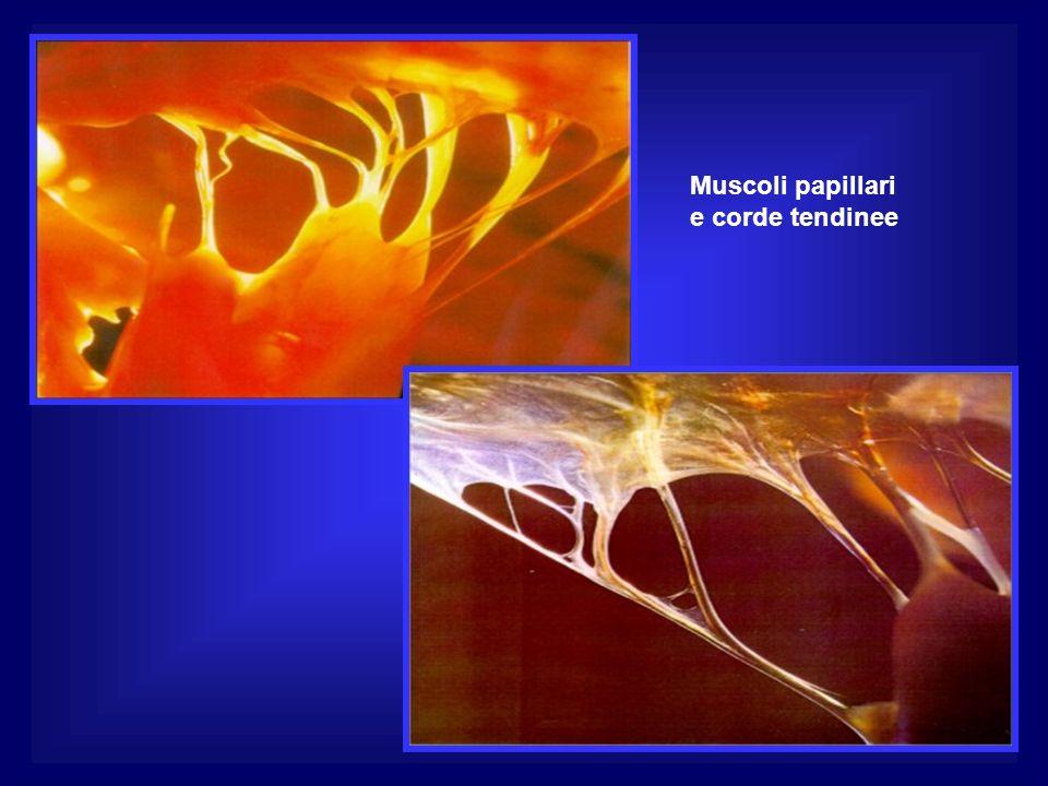 Muscoli papillari e corde tendinee