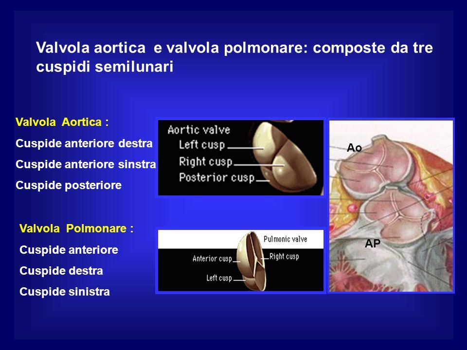 Valvola aortica e valvola polmonare: composte da tre cuspidi semilunari Valvola Aortica : Cuspide anteriore destra Cuspide anteriore sinstra Cuspide posteriore Valvola Polmonare : Cuspide anteriore Cuspide destra Cuspide sinistra Ao AP