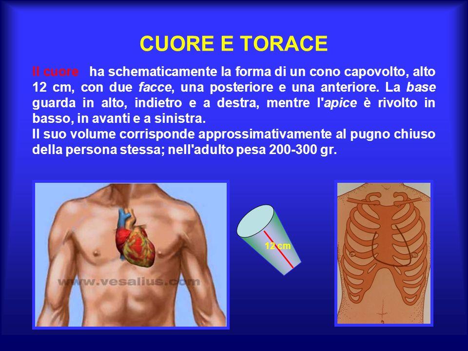 CUORE E TORACE Il cuore ha schematicamente la forma di un cono capovolto, alto 12 cm, con due facce, una posteriore e una anteriore.