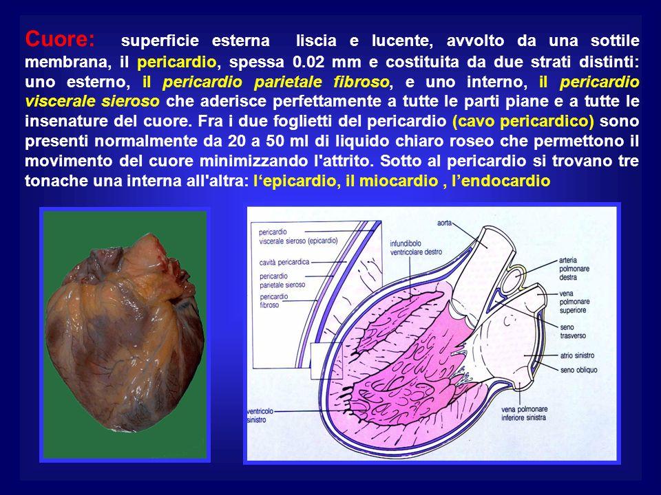 Cuore: superficie esterna liscia e lucente, avvolto da una sottile membrana, il pericardio, spessa 0.02 mm e costituita da due strati distinti: uno esterno, il pericardio parietale fibroso, e uno interno, il pericardio viscerale sieroso che aderisce perfettamente a tutte le parti piane e a tutte le insenature del cuore.