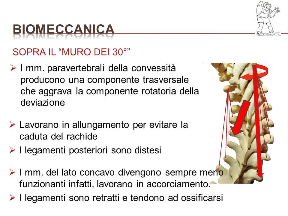 I mm. paravertebrali della convessità producono una componente trasversale che aggrava la componente rotatoria della deviazione SOPRA IL MURO DEI 30°