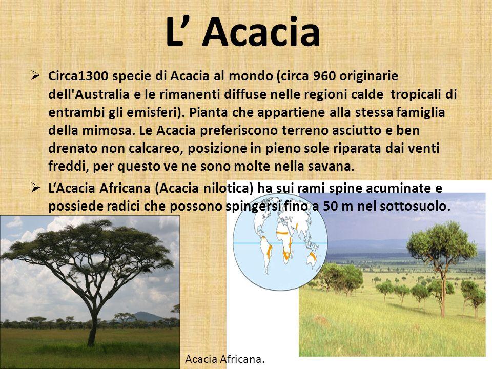 L Acacia Circa1300 specie di Acacia al mondo (circa 960 originarie dell'Australia e le rimanenti diffuse nelle regioni calde tropicali di entrambi gli