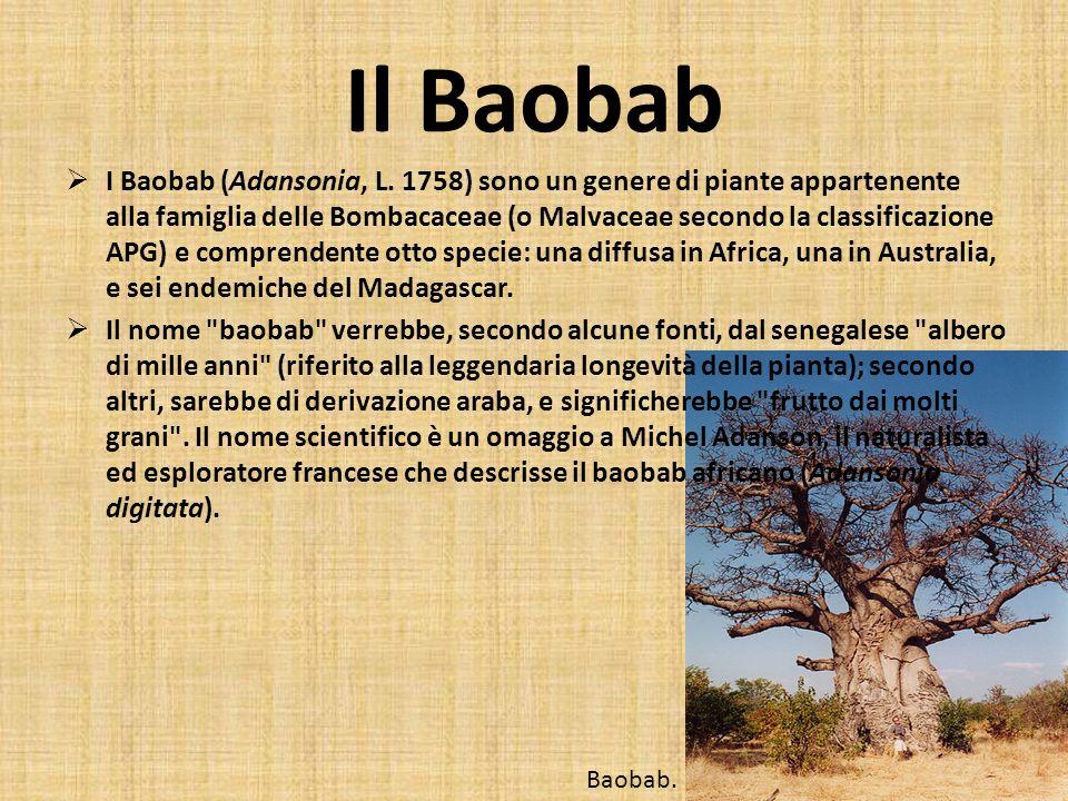 Il Baobab I Baobab (Adansonia, L. 1758) sono un genere di piante appartenente alla famiglia delle Bombacaceae (o Malvaceae secondo la classificazione