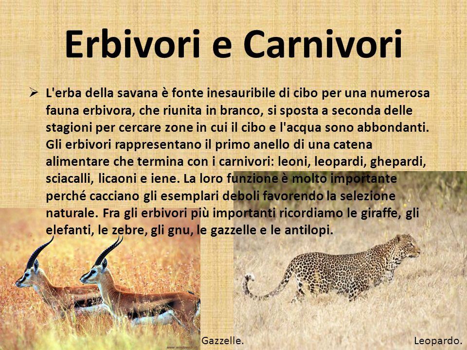 Erbivori e Carnivori L'erba della savana è fonte inesauribile di cibo per una numerosa fauna erbivora, che riunita in branco, si sposta a seconda dell