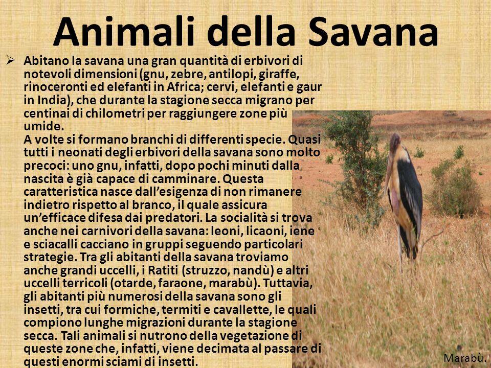 Animali della Savana Abitano la savana una gran quantità di erbivori di notevoli dimensioni (gnu, zebre, antilopi, giraffe, rinoceronti ed elefanti in