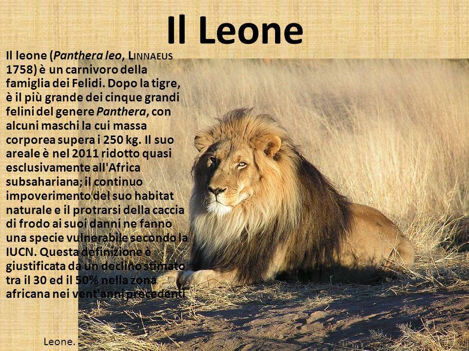 Il Leone Il leone (Panthera leo, L INNAEUS 1758) è un carnivoro della famiglia dei Felidi. Dopo la tigre, è il più grande dei cinque grandi felini del