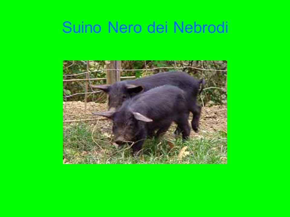 Suino Nero dei Nebrodi