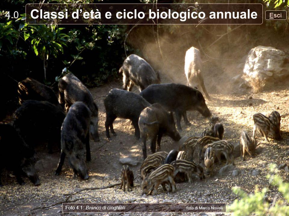 4.0 Esci Classi detà e ciclo biologico annuale Foto 4.1: Branco di cinghiali foto di Marco Novelli