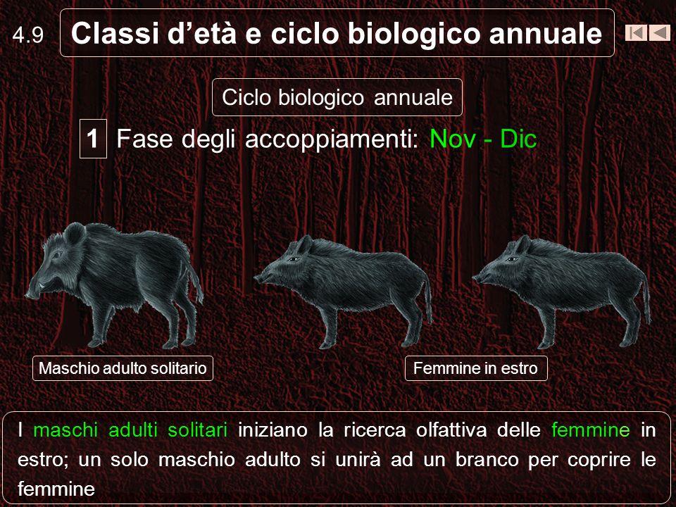 4.8 Classi detà e ciclo biologico annuale Ciclo biologico annuale Fase del secondo raggruppamentoFase dei parti Fase del primo raggruppamento Fase deg