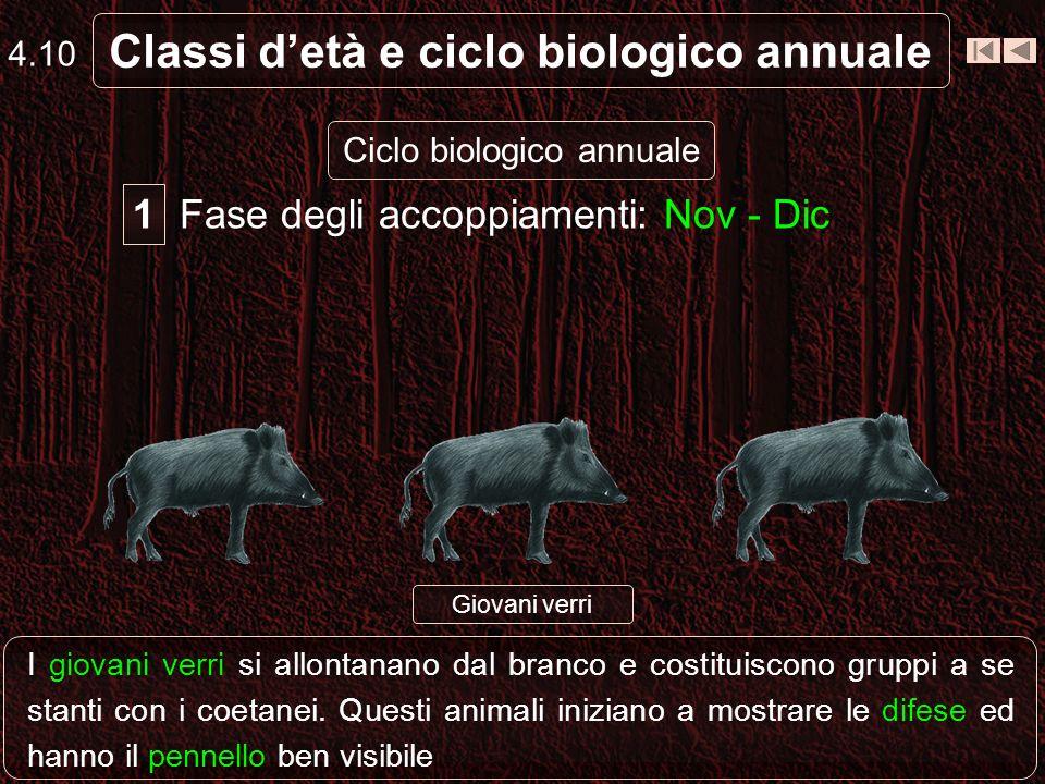 4.9 Classi detà e ciclo biologico annuale Ciclo biologico annuale Fase degli accoppiamenti: Nov - Dic 1 Maschio adulto solitarioFemmine in estro I mas
