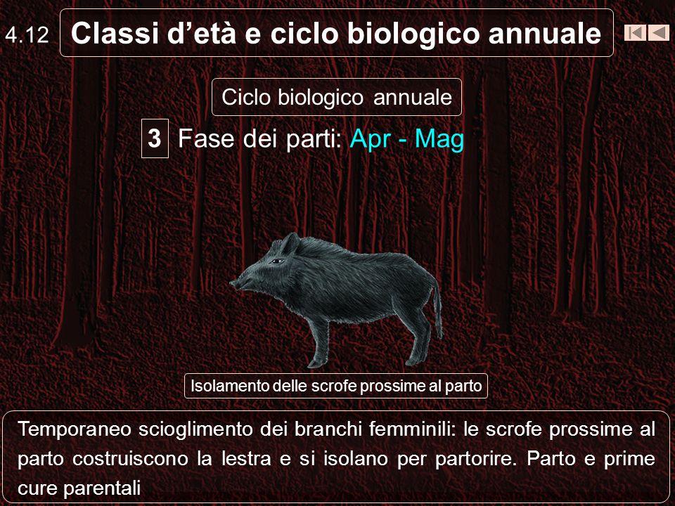 Classi detà e ciclo biologico annuale Ciclo biologico annuale Giovane Branchi di femmine e giovani (oltre ai branchi di sub-adulti e ai maschi isolati