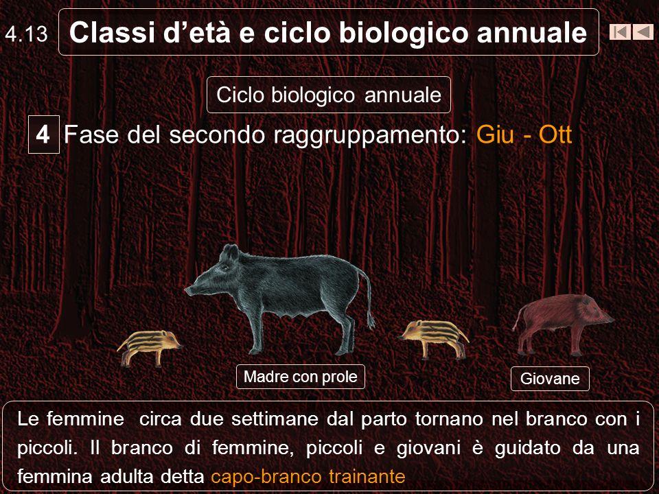 Classi detà e ciclo biologico annuale Ciclo biologico annuale Temporaneo scioglimento dei branchi femminili: le scrofe prossime al parto costruiscono
