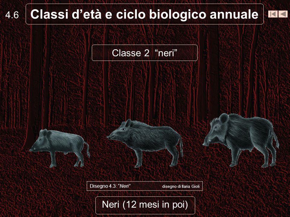 Neri (12 mesi in poi) 4.6 Classi detà e ciclo biologico annuale Disegno 4.3: Neri disegno di Ilaria Gioli Classe 2 neri