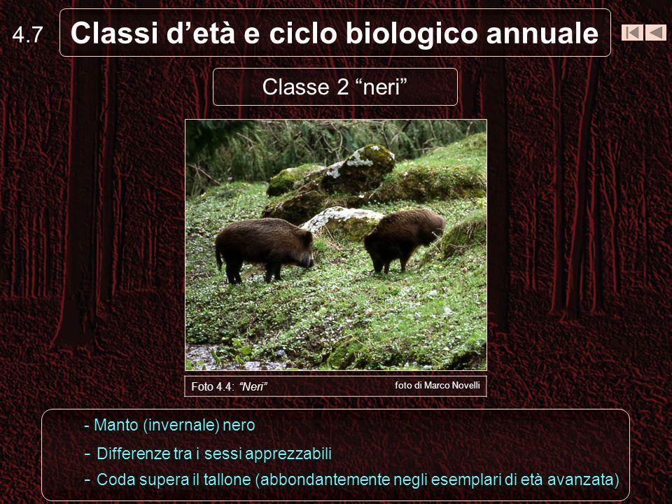 4.7 Classi detà e ciclo biologico annuale Foto 4.4: Neri foto di Marco Novelli - Manto (invernale) nero - Differenze tra i sessi apprezzabili - Coda supera il tallone (abbondantemente negli esemplari di età avanzata) Classe 2 neri