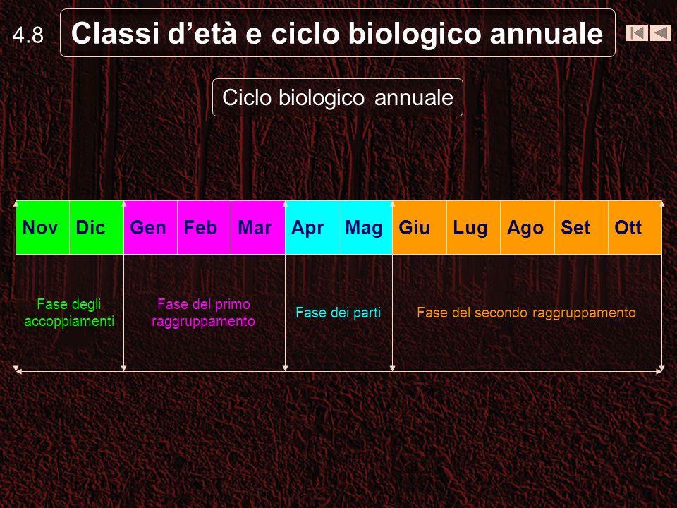4.8 Classi detà e ciclo biologico annuale Ciclo biologico annuale Fase del secondo raggruppamentoFase dei parti Fase del primo raggruppamento Fase degli accoppiamenti OttSetAgoLugGiuMag Apr MarFebGenDicNov