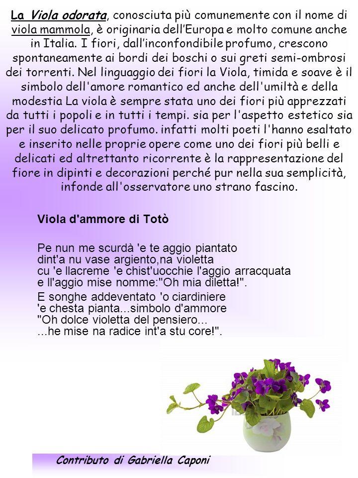 Veronica (o Lederella) Prima che pur la primula, che i crochi, che le viole mammole, fiorisci tu, qua e là, veronica, coi pochi petali lisci.
