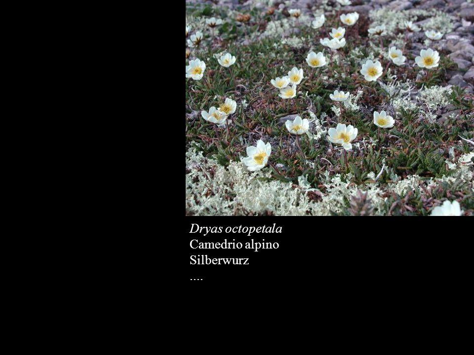 Dryas octopetala Camedrio alpino Silberwurz....
