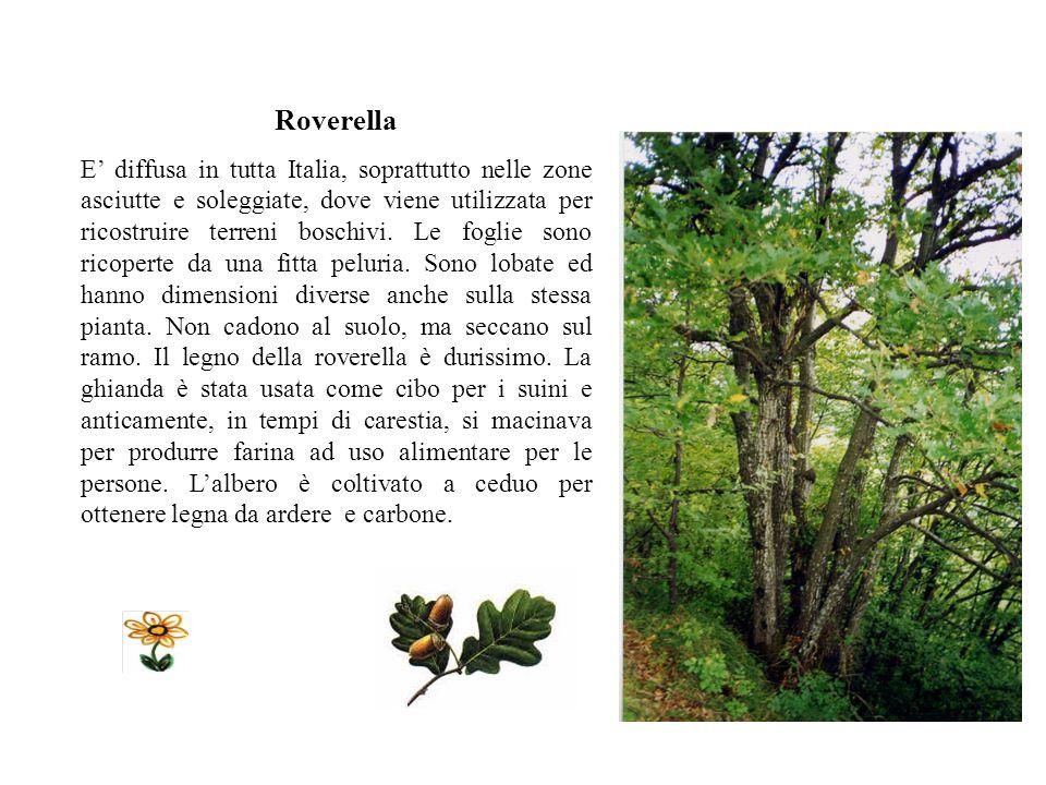 MIRTILLO Cresce in luoghi elevati, nei boschi aperti e nelle brughiere oltre il limite degli alberi.in primavera le api si nutrono del nettare dei suo