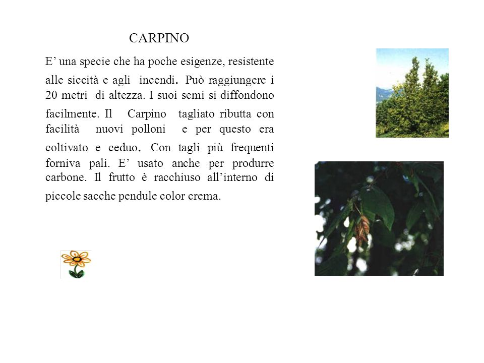 Roverella E diffusa in tutta Italia, soprattutto nelle zone asciutte e soleggiate, dove viene utilizzata per ricostruire terreni boschivi. Le foglie s