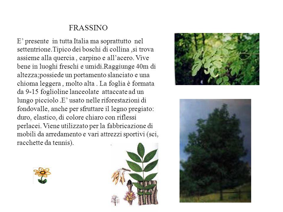 ACERELLA L acerella è spontanea in tutta Italia, tranne che nello estremo sud. Grandi esemplari di acerella si trovano ancora vicino alle case rurali,