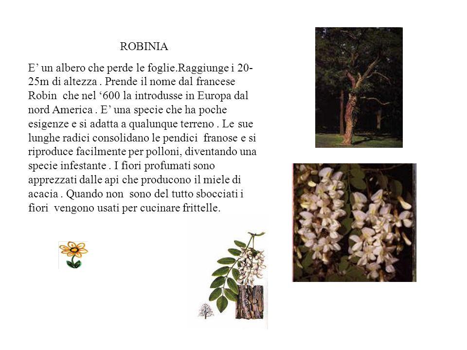 FRASSINO E presente in tutta Italia ma soprattutto nel settentrione.Tipico dei boschi di collina,si trova assieme alla quercia, carpino e allacero. Vi