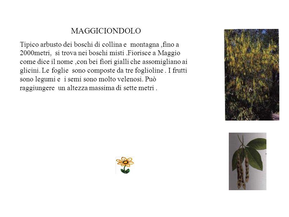 ROBINIA E un albero che perde le foglie.Raggiunge i 20- 25m di altezza. Prende il nome dal francese Robin che nel 600 la introdusse in Europa dal nord
