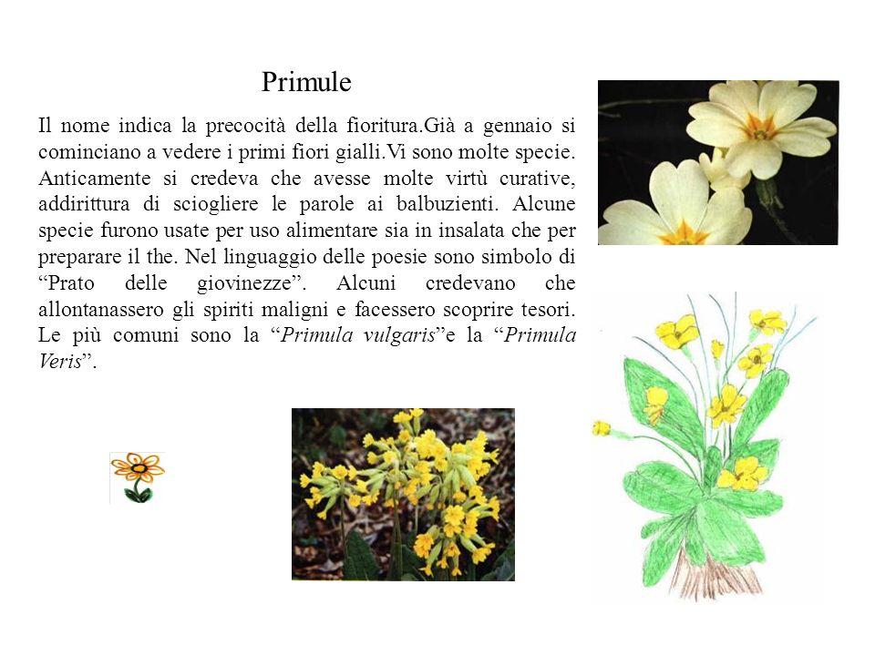 Primule Il nome indica la precocità della fioritura.Già a gennaio si cominciano a vedere i primi fiori gialli.Vi sono molte specie.