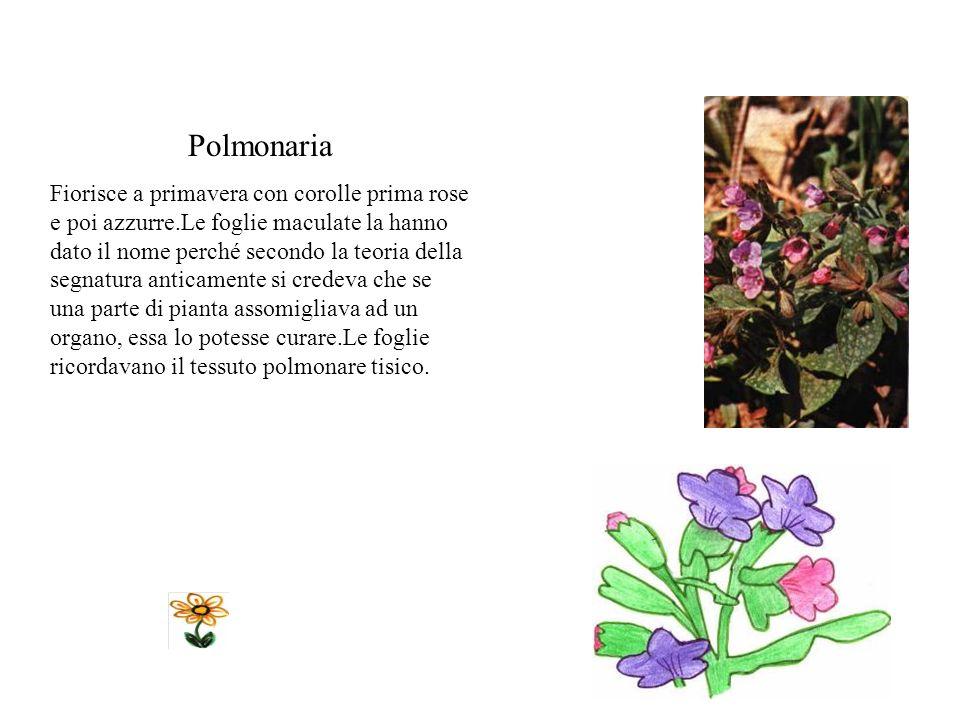 Castagno Vive a lungo e preferisce le zone di mezza montagna, umide e fresche.Le foglie sono grandi, allungate e seghettate ai margini, di colore verd