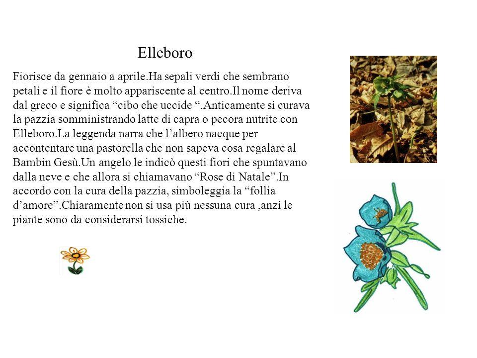 Polmonaria Fiorisce a primavera con corolle prima rose e poi azzurre.Le foglie maculate la hanno dato il nome perché secondo la teoria della segnatura