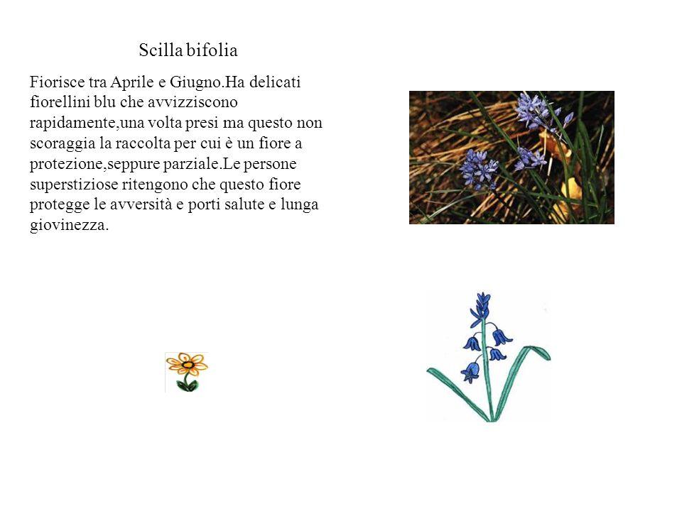 Elleboro Fiorisce da gennaio a aprile.Ha sepali verdi che sembrano petali e il fiore è molto appariscente al centro.Il nome deriva dal greco e signifi