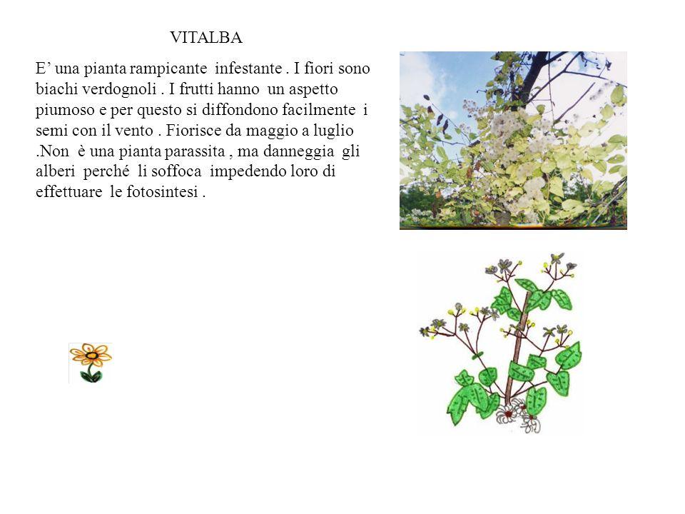Scilla bifolia Fiorisce tra Aprile e Giugno.Ha delicati fiorellini blu che avvizziscono rapidamente,una volta presi ma questo non scoraggia la raccolt