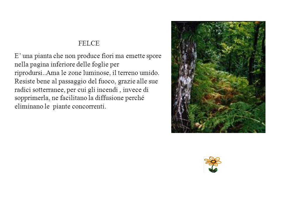 VITALBA E una pianta rampicante infestante. I fiori sono biachi verdognoli. I frutti hanno un aspetto piumoso e per questo si diffondono facilmente i