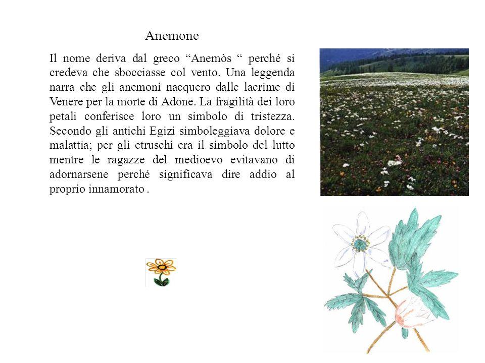 Anemone Il nome deriva dal greco Anemòs perché si credeva che sbocciasse col vento.