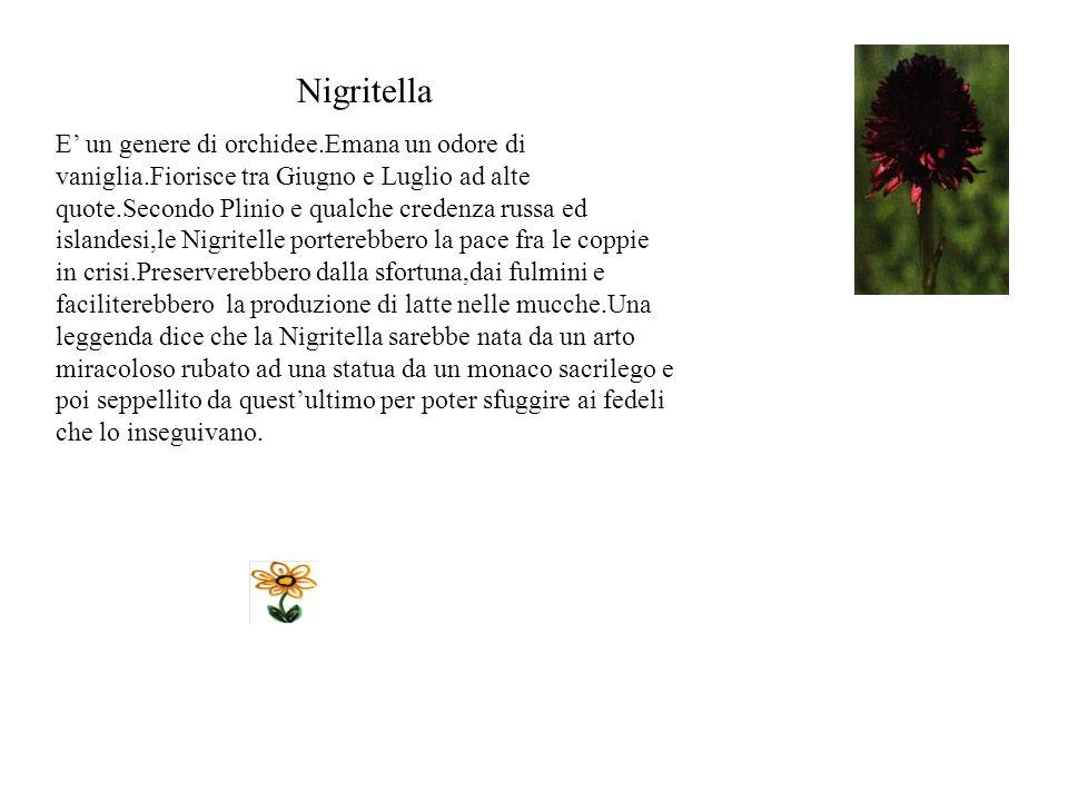 Astro Il fiore fiorisce da giugno a settembre nei pascoli e nei prati.Il nome è stato dato da Linneo per la somiglianza con una stella. Plinio credeva