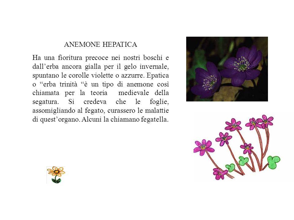 ANEMONE HEPATICA Ha una fioritura precoce nei nostri boschi e dallerba ancora gialla per il gelo invernale, spuntano le corolle violette o azzurre.