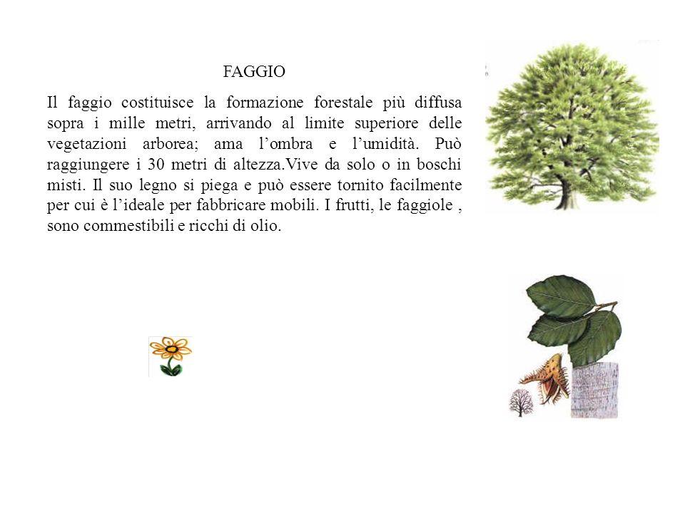 FAGGIO Il faggio costituisce la formazione forestale più diffusa sopra i mille metri, arrivando al limite superiore delle vegetazioni arborea; ama lombra e lumidità.
