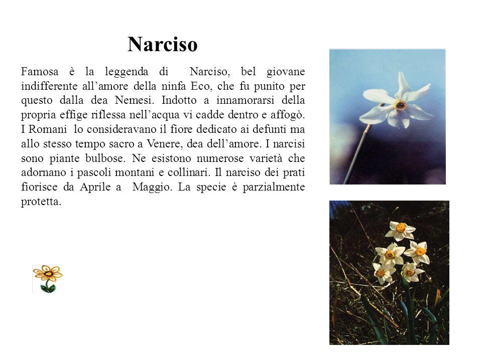 Narciso Famosa è la leggenda di Narciso, bel giovane indifferente allamore della ninfa Eco, che fu punito per questo dalla dea Nemesi.