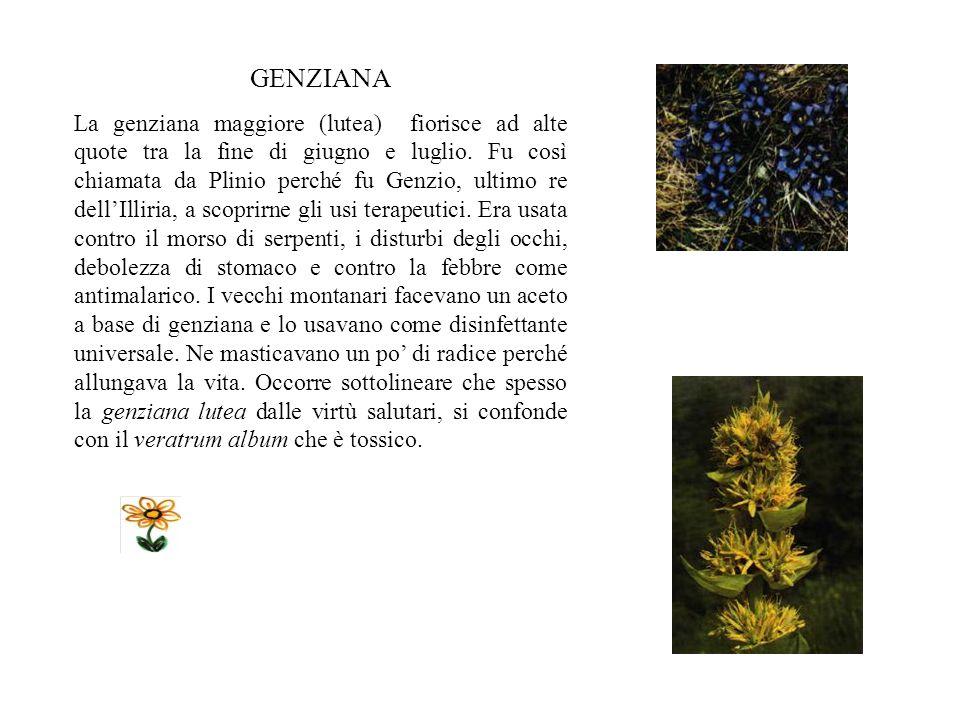 GENZIANA La genziana maggiore (lutea) fiorisce ad alte quote tra la fine di giugno e luglio.