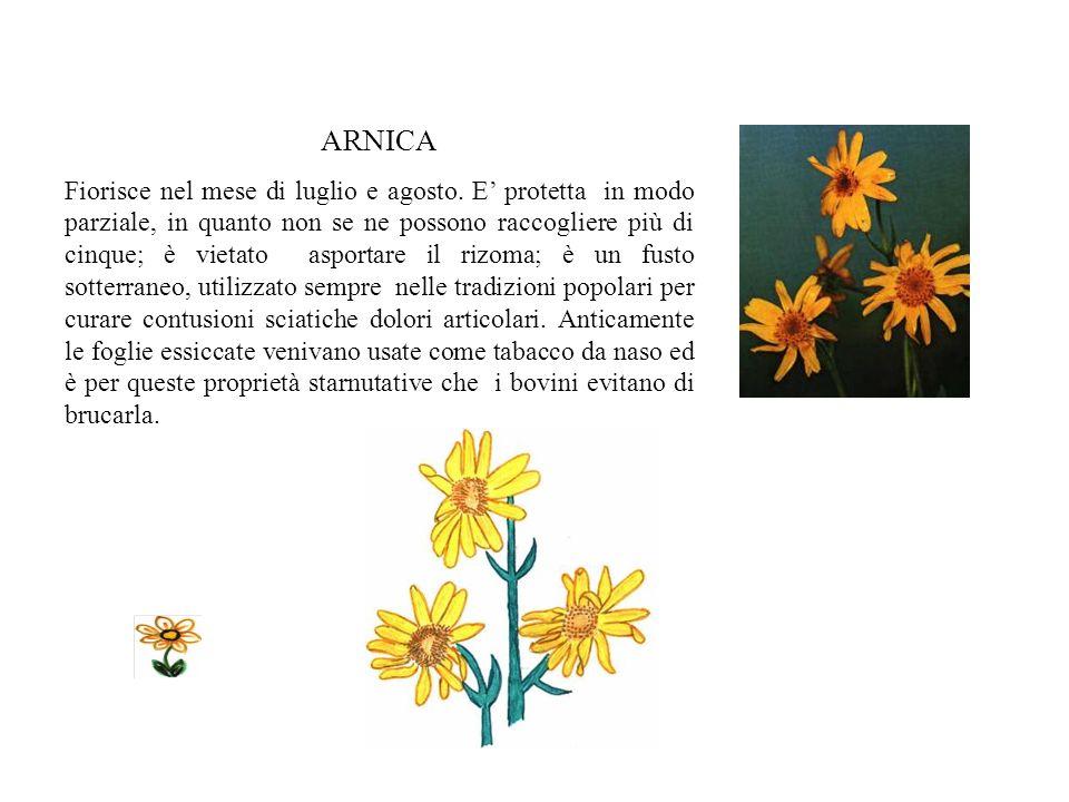 GENZIANA La genziana maggiore (lutea) fiorisce ad alte quote tra la fine di giugno e luglio. Fu così chiamata da Plinio perché fu Genzio, ultimo re de