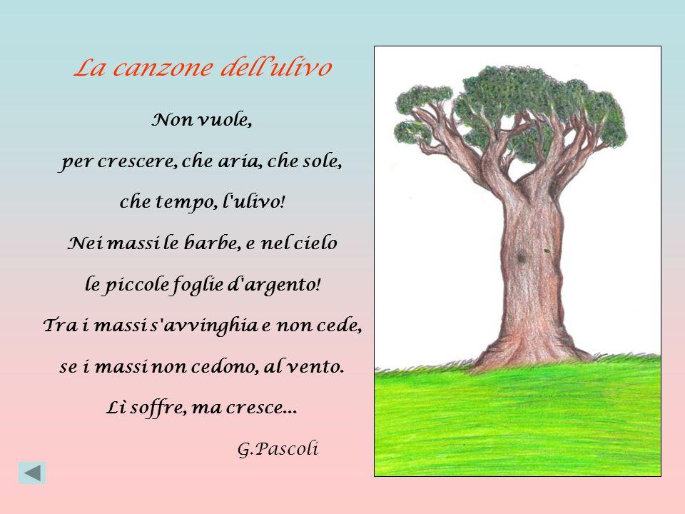 La canzone dellulivo Non vuole, per crescere, che aria, che sole, che tempo, l ulivo.