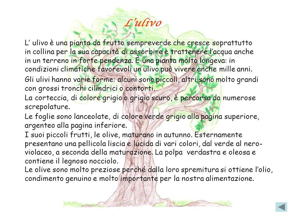 Lulivo L ulivo è una pianta da frutto sempreverde che cresce soprattutto in collina per la sua capacità di assorbire e trattenere lacqua anche in un terreno in forte pendenza.