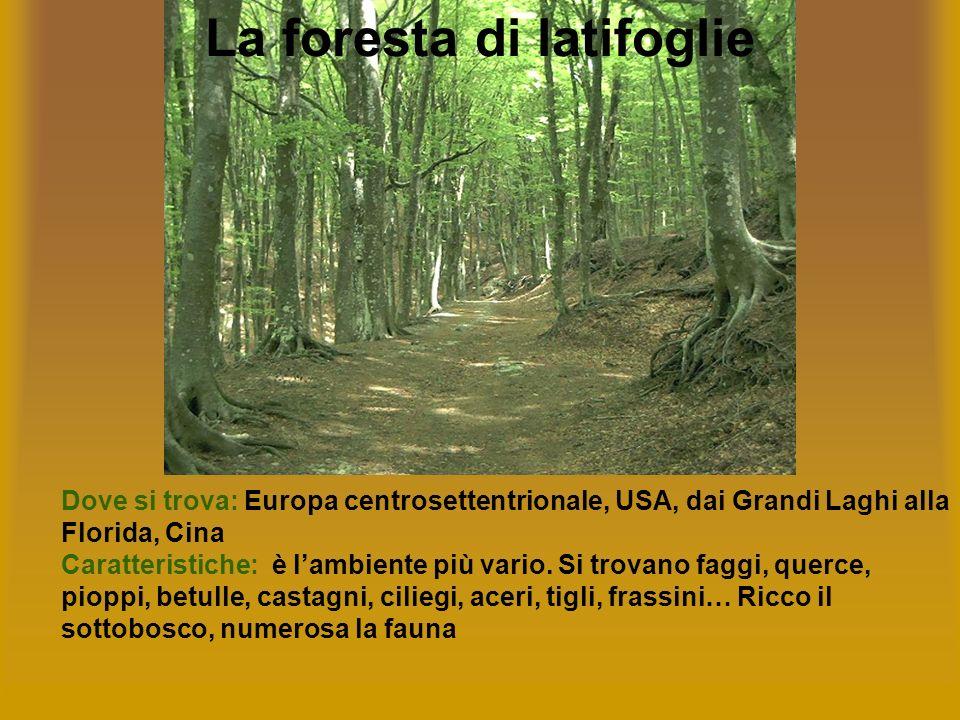 La foresta di latifoglie Dove si trova: Europa centrosettentrionale, USA, dai Grandi Laghi alla Florida, Cina Caratteristiche: è lambiente più vario.