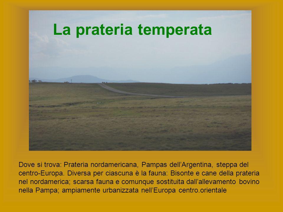 La prateria temperata Dove si trova: Prateria nordamericana, Pampas dellArgentina, steppa del centro-Europa. Diversa per ciascuna è la fauna: Bisonte