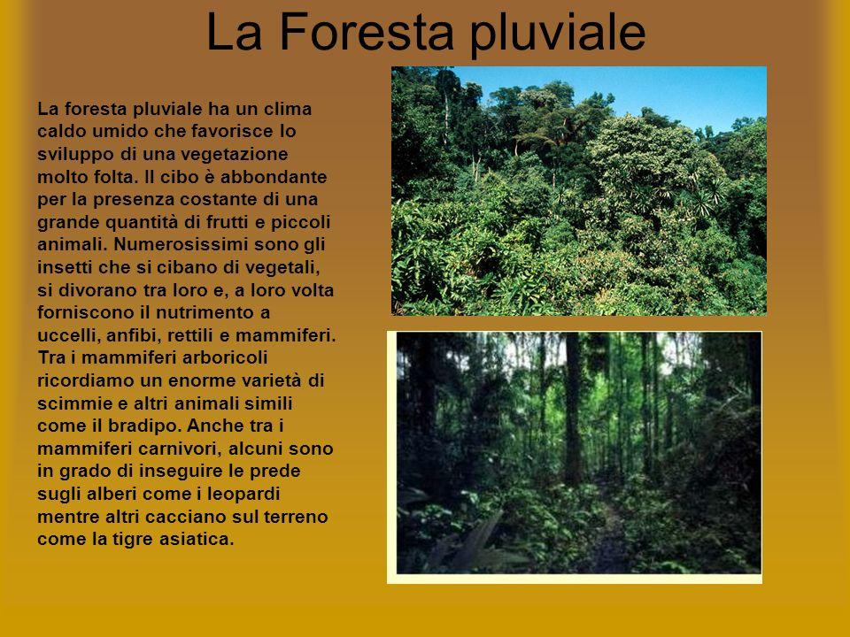 La Foresta pluviale La foresta pluviale ha un clima caldo umido che favorisce lo sviluppo di una vegetazione molto folta. Il cibo è abbondante per la