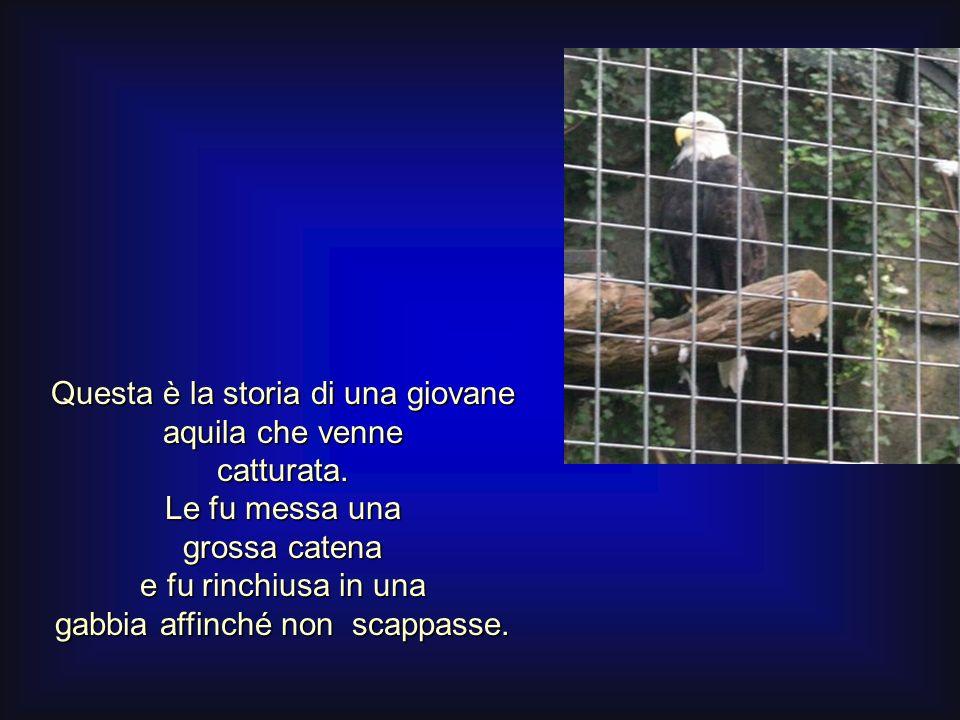 Questa è la storia di una giovane aquila che venne catturata. Le fu messa una grossa catena e fu rinchiusa in una gabbia affinché non scappasse.