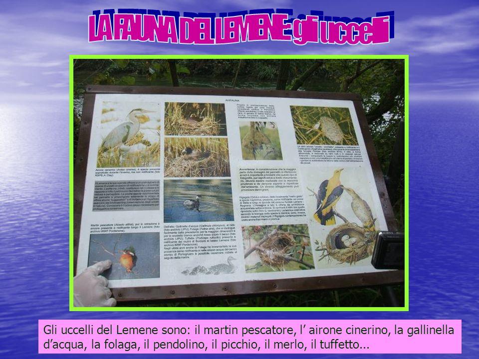 Gli uccelli del Lemene sono: il martin pescatore, l airone cinerino, la gallinella dacqua, la folaga, il pendolino, il picchio, il merlo, il tuffetto...