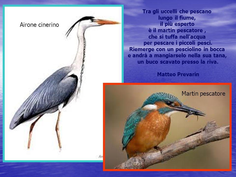 Airone cinerino Martin pescatore Tra gli uccelli che pescano lungo il fiume, il più esperto è il martin pescatore, che si tuffa nellacqua per pescare i piccoli pesci.