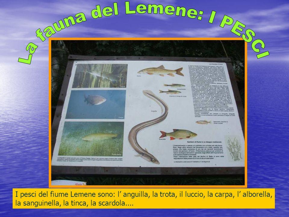 I pesci del fiume Lemene sono: l anguilla, la trota, il luccio, la carpa, l alborella, la sanguinella, la tinca, la scardola....